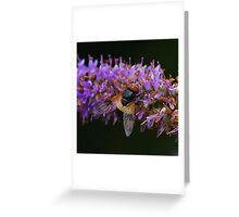 Hoverfly , Volucella Pellucens Greeting Card
