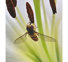 Hoverfly on Stamen Photographic Print