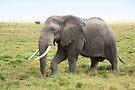 Bull Elephant Following the Herd, Amboseli, Kenya by Carole-Anne