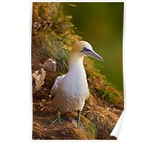 Northern Gannet (Morus bassanus) sitting on cliff Poster