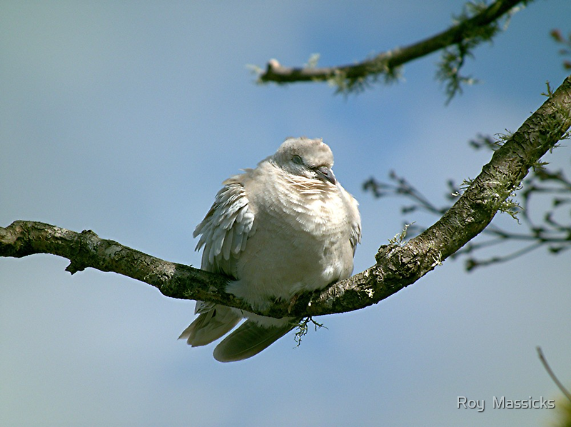 Young Ring Necked Dove. by Roy  Massicks