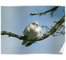 Young Ring Necked Dove. Poster
