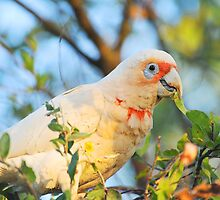 Long Billed Corella In Our Garden. Brisbane, Queensland, Australia. by Ralph de Zilva