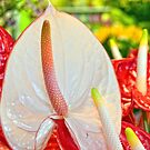 Anthurium by Tracy Riddell