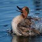 Green-Wing Teal Drake - Ottawa, Ontario by Stephen Stephen
