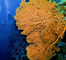 Sea Fan by Melissa Fiene