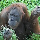 Orang Utan by Thomas Stiglmayer