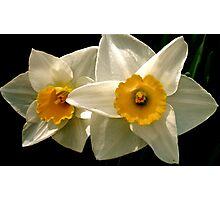 Fragile Daffodil  Photographic Print