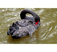 A black swan Photographic Print