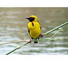 Southern Masked Weaver Photographic Print