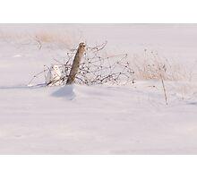 Snowy Owl - Arthur - Ontario Canada Photographic Print