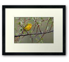 Yellow Warbler - Ontario, Canada Framed Print