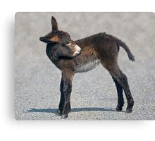 Baby Donkey Canvas Print
