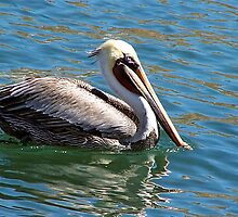 A wonderful bird is the pelican...... by Nancy Richard