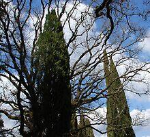 Tuscan Trees-Siena, Italy by Deborah Downes