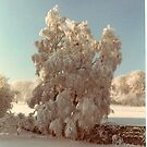 Silver birch in winter!!! by poohsmate