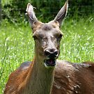 Oh Deer! I'm Going To Sneeze! - Female Deer - NZ by AndreaEL
