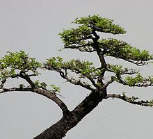The Beauty of Bonsai by Trish Meyer