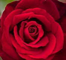 Rosey Red by JinzhaBloodrose