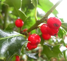 Holly berries by Kathleen Hamilton