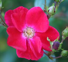 Red Tea Rose by Terry Aldhizer
