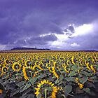 Stormy sunflowers by Robert Ashdown