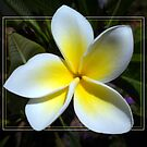 Frangipani November 2010 by Keith G. Hawley