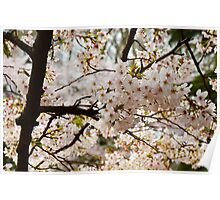 Blossoms in White Poster