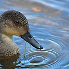 Grey Teal (Anas gracilis) by Geoff Beck