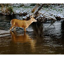 whitetail crossing #3 Photographic Print