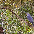 Grey Goshawk, Atherton Tablelands by Robert Ashdown