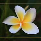 Frangipani Dreaming by Keith G. Hawley