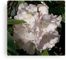White Rhododendron, Broadfields, Christchurch, NZ Canvas Print