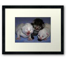 Kittens-One Week Old Framed Print