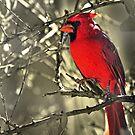 Male Cardinal by Barbara Manis