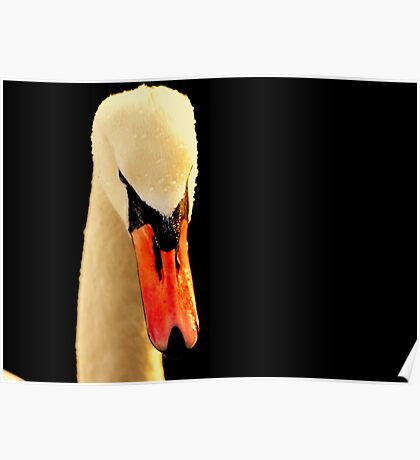 Swan Head On Black Poster