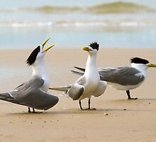 Caspian Terns, North Stradbroke Island by Robert Ashdown