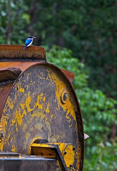 Forest Kingfisher, Abercrombie State Forest, north Queensland by Robert Ashdown