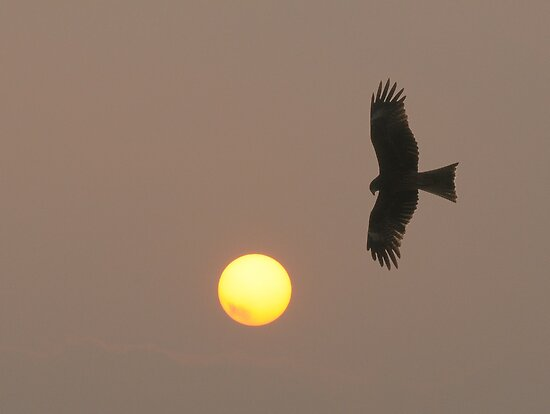 Sea Eagle at dusk by jon  daly