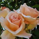 Rose 2 by Beverley  Johnston
