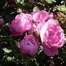 Rose 9 by Beverley  Johnston