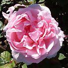 Rose 10 by Beverley  Johnston