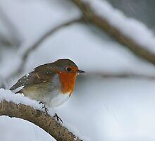 Robin in a snow storm, The Rower, County Kilkenny, Ireland by Andrew Jones