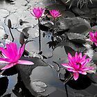Pink Lotus Pool by Ravi Chandra