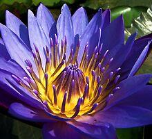 Purple Wonder by Ravi Chandra
