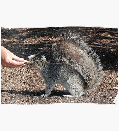 Dudley The Silver Fox Squirrel Poster