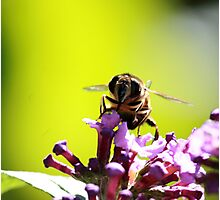 Busy Busy Bee 1 Photographic Print