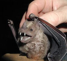 Young Kittis Hog-nosed Bat by cute-wildlife