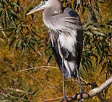 1123101 Great Blue Heron by Marvin Collins
