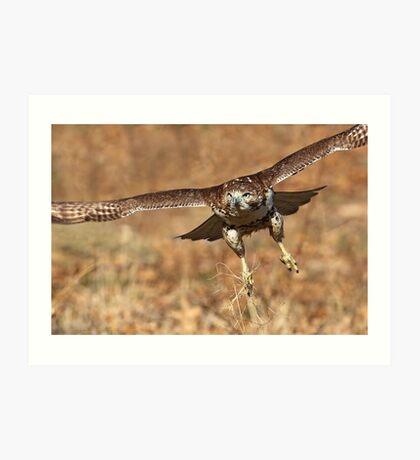 Red-Tail Hawk Art Print